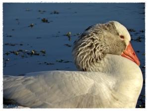 Goose II