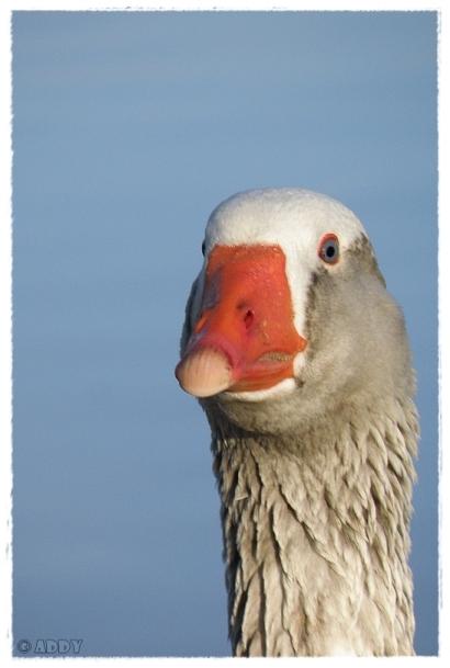 Goose I