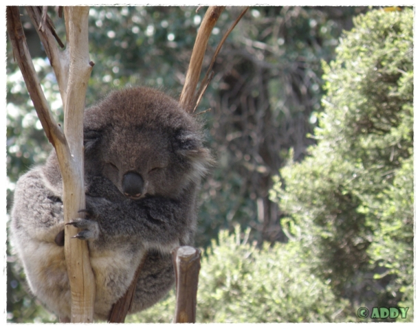 Koala Bear (Melbourne Zoo)