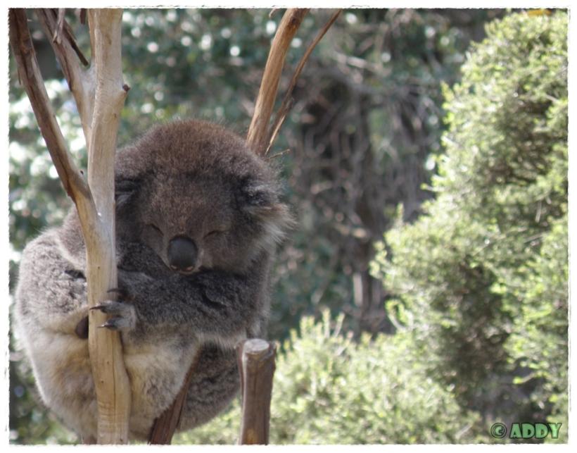 Koala Bear (Melbourne Zoo)