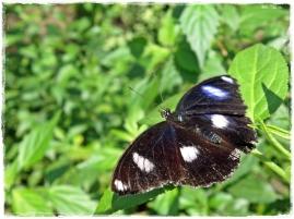 Beautiful Butterfly (I)