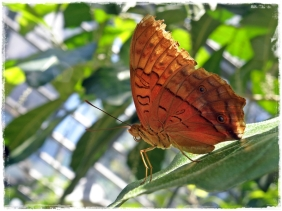 Beautiful Butterfly (II)