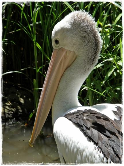 Majestic Pelican