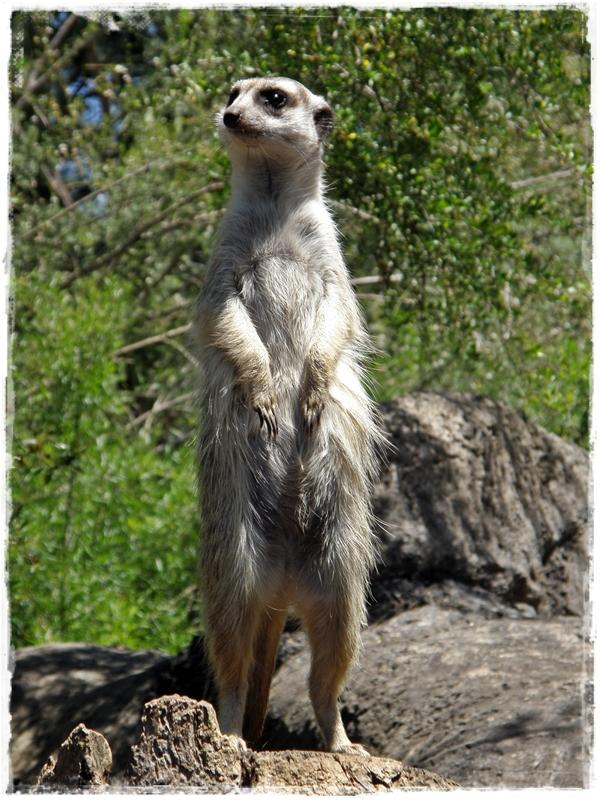 Meerkats! :)