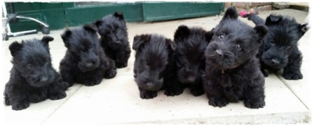 zomg-scottie-puppies-e1405878287281