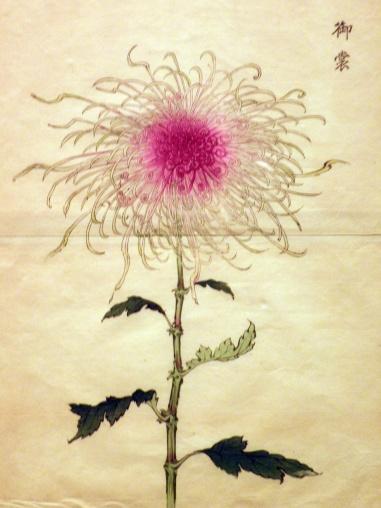 Chrysanthemum (Eika Hasogawa)