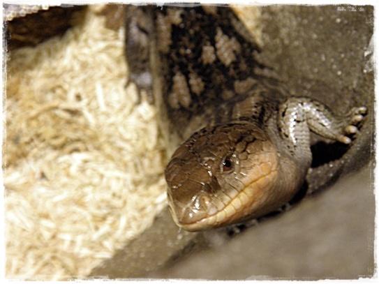 Blue tongued lizard (I)