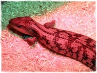 Blue tongued lizard (II)
