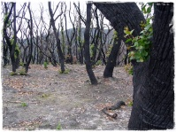Fire Damage (Wilson's Prom)